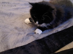 possesive tuxedo coon on a velvet blanket